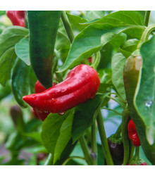 BIO paprika Sweet Dreams - Capsicum anuum - bio osivo papriky - 10 ks