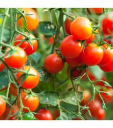 Červená Cherry rajčátka - Lycopersicon lycopersicum - prodej semen rajčat - 6 Ks