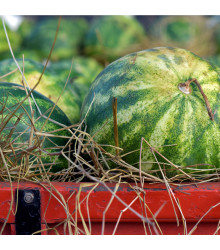 BIO meloun vodní Sugar Baby - Citrullus lanatus - bio osivo melounu - 6 ks