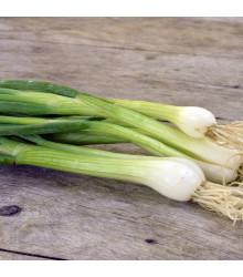 Cibule jarní bílá Bílý Lisabon - Allium cepa - osivo cibule - 250 ks