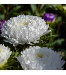 Astra čínská Princess bílá - Calistephus chinensis - osivo astry - 50 ks
