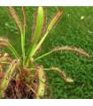 Rosnatka kapská- obrovská- semena- 15 ks