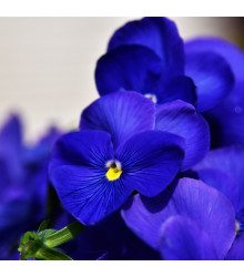 Maceška Schweizer Riesen Alpensee - Viola wittrockiana - osivo macešky - 200 ks