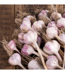 Sadbový česnek Topaz - Allium sativum - paličák - 5 ks v balení