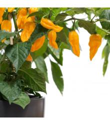 Chilli Habanero Lemon - Capsicum chinense - osivo chilli - 10 ks