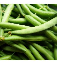 Fazol Neckarkönigin - Phaseolus vulgaris - osivo fazolu - 30 ks