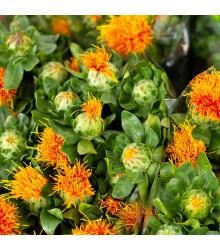 BIO světlice barvířská - Carthamus tinctorius - bio osivo světlice - 20 ks