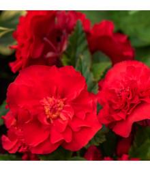 Begonie plnokvětá červená - Begonia superba - cibulky begónie - 2 ks