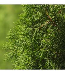 More about Jalovec čínský - Juniperus chinensis - semena Jalovce - 5 ks