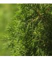 Jalovec čínský- Juniperus chinensis- semena Jalovce- 5 ks