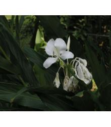 More about Hedychium - okrasný zázvor - semena - 2 ks
