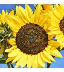 Slunečnice Sunrich Lemon - Helianthus annuus - osivo slunečnice - 8 ks