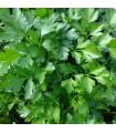 Petržel Laica - Petroselinum crispum - osivo petržele - 1 g