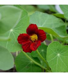 More about Lichořeřišnice červenočerná Black Velvet - Alaska - Tropaeolum nanum - osivo lichořeřišnice - 15 ks